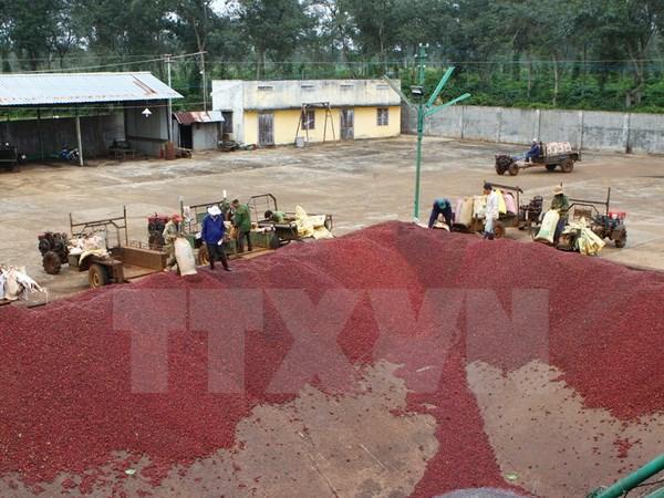 Quả càphê sau khi thu hái được đưa xuống bể trong dây chuyền chế biến cà hê ướt của Công ty càphê Thắng Lợi. (Ảnh: Dương Gian/TTXVN)