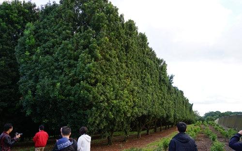 """Tại Úc đã có những khu vườn mắc-ca """"cổ thụ"""", còn tại Việt Nam đã hai mươi năm thử nghiệm mà doanh nghiệp chưa biết làm thế nào để tạo vườn cây đầu dòng khi cửa nhập khẩu chính ngạch đóng chặt."""